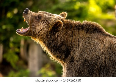 Adult Grizzly Bear In The Forest