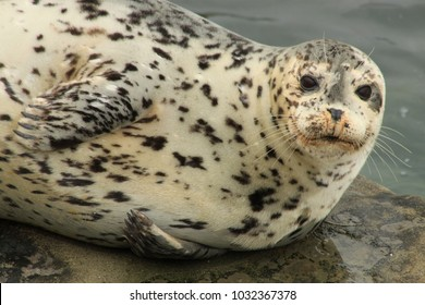 An adult harbor seal with black spots and gray and tan fur resting atop a flat rock at La Jolla