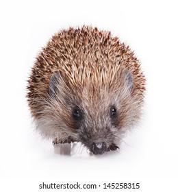 Adult hedgehog isolated on white background - studio shot