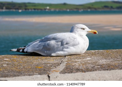 An adult Herring Gull sitting on the sea wall at Padstow in Cornwall, England.