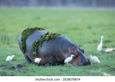 Adult hippo out of water with green plants on its back and surrounded by white cattle egrets in Amboseli in Kenya