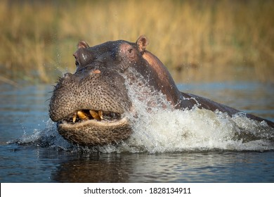 Adult hippo showing aggression while splashing water in Chobe River in Botswana