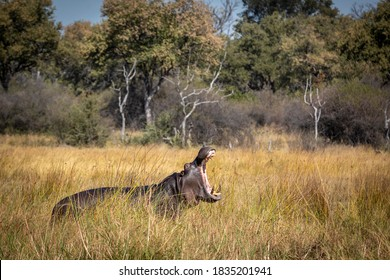 Adult hippo standing in tall grass with trees in the background yawning with its mouth open in Khwai River in Okavango Delta in Botswana
