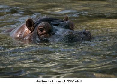 Adult hippopotamus in the water