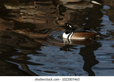 an adult Hooded Merganser swims calmly in a pond or lake