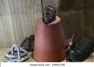 Adult house mice