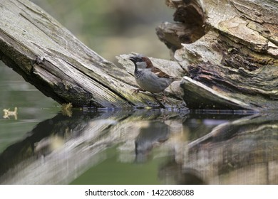 An adult House sparrow (Passer domesticus) perched on a branch in a city pond in the capital city of Berlin Germany. Perched in water in front of a coloured background seen from a low angle.