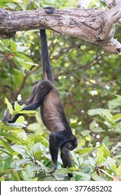 An adult howler monkey hangs by his tail from a branch while he forages for food