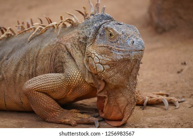 Adult iguana in the zoo
