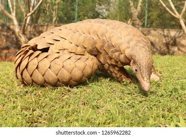 Adult Indian pangolin
