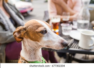 An adult Italian greyhound looking on while sitting at a table in a cafe or restaurant patio.