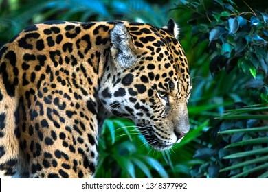 An adult jaguar (Panthera onca) up close among jungle vegetation.