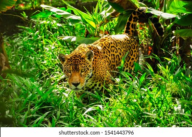 An adult jaguar stalking in the grass