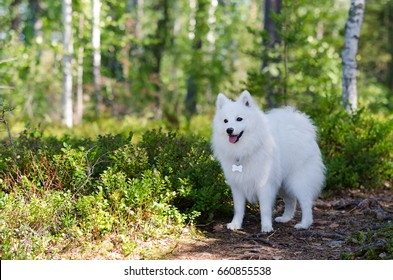 Adult japanese spitz in forest