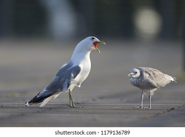An adult and juvenile Common gull(Larus canus) interacting on a parking lot in the ports of Bremen Germany.
