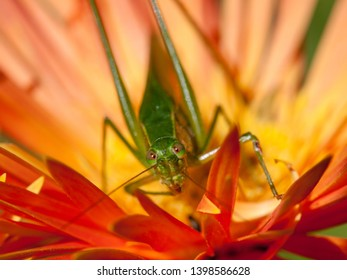 Adult katydid hiding in center of orange gerbera daisy with soft background