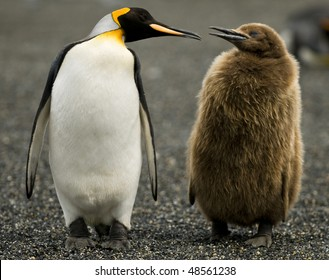 An Adult King Penguin 'chatting' to its downy chick by its side - South Georgia.