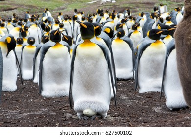 An adult King Penguin incubates an egg within it's breeding colony.