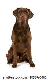Adult labrador retriever isolated on white background
