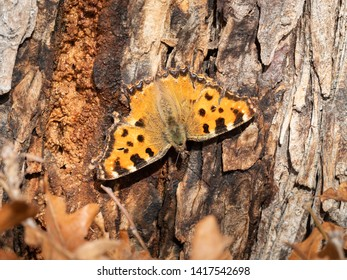 An adult Large Tortoiseshell butterfly (Nymphalis polychloros) sitting on a tree