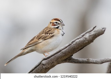 An adult Lark Sparrow perched on a dead branch