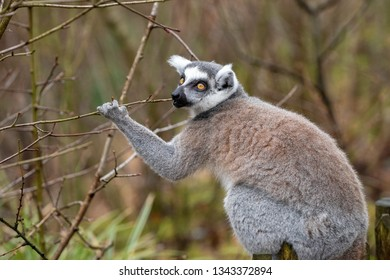 Adult lemur katta in spring eats young tree branches