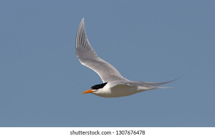 Adult Lesser Crested Tern (Sterna bengalensis) in breeding plumage in Egypt, seen from the side, showing upper wing.
