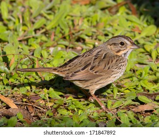 Adult Lincoln's Sparrow (Melospiza lincolnii) walking along the ground in the Texas Hill Country