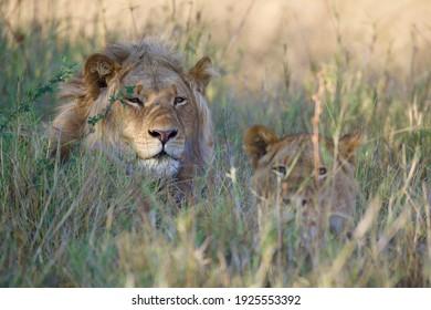 Adult lion and his son looking at safari car