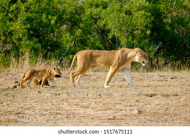 Adult lioness and cub walking in the wild