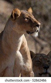 An adult lioness sitting upright and looking intently in a certain direction