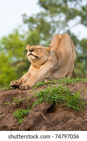 An adult lioness stretching