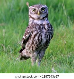 Adult Little Owl standing tall in long grass