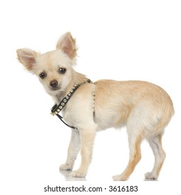 adult long haired chihuahua standing up in front of white background
