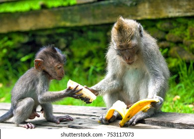 An adult macaque shares a banana with a young monkey from hand to hand. Cute monkeys lives in Ubud Monkey Forest, Bali, Indonesia.