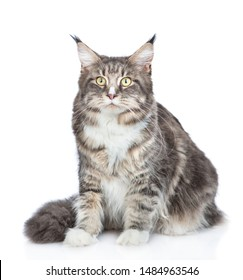 Adult maine coon cat sitting in front view. isolated on white background