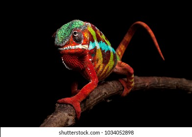 Adult male Ambilobe Panther Chameleon (Furcifer pardalis) on a branch. Full body shot, photographed against a black background