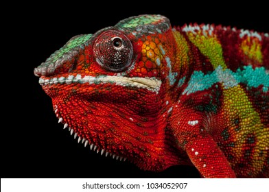 Adult male Ambilobe Panther Chameleon (Furcifer pardalis) on a branch. Close-up, photographed against a black background