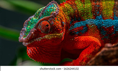 Adult male Ambilobe Panther Chameleon (Furcifer pardalis)