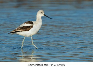 Adult male American Avocet (Recurvirostra americana) in non-breeding plumage in Riverside Co., California, USA. Standing in a freshwater marsh during beautiful autumn day.