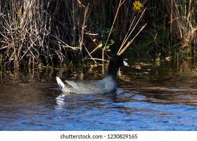 Adult Male American Coot Waterbird Swimming