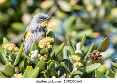 An adult male Audubon's Warbler perching on a tree branch