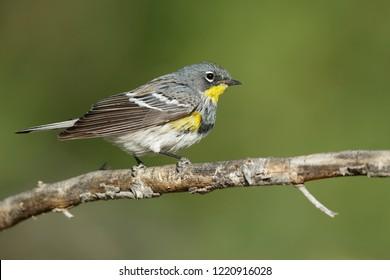 Adult male Audubon's Warbler (Setophaga auduboni) Riverside County, California, USA.April 2017