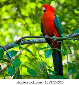 Adult male Australian King Parrot. Green Red bird sits in a branch tree in the Blue Mountains in New South Wales, Australia.