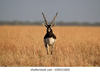 An adult male blackbuck standing in a dry grassland.