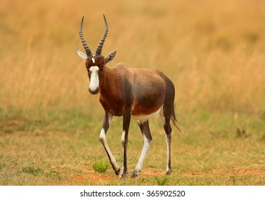 Adult male Blesbok Damaliscus pygargus phillipsi, brown antelope with horns, white blaze on the face,endemic to South Africa,in direct movement on dry savanna,front view.