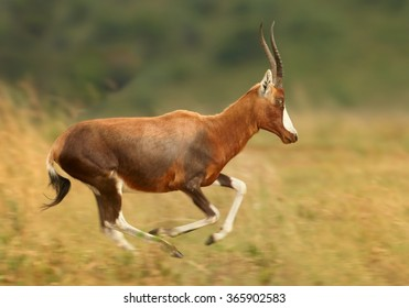 Adult male Blesbok Damaliscus pygargus phillipsi,brown antelope with horns, white blaze on the face,endemic to South Africa,running in dry savanna,distant blue and green background.Side view.