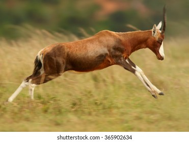 Adult male Blesbok Damaliscus pygargus phillipsi, brown antelope with horns, white blaze on the face,endemic to South Africa,in jump on dry savanna,distant blue and green background.Side view.