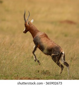 Adult male Blesbok Damaliscus pygargus phillipsi, brown antelope with horns,endemic to South Africa,prancing and preparing to fight, dry savanna,blurred yellow dry grass in background.