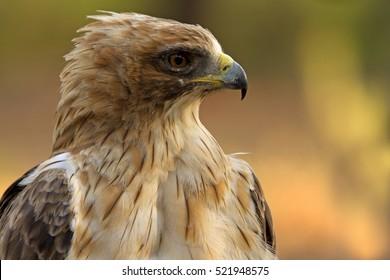 Adult male of Booted eagle. Pale morph . Aquila pennata
